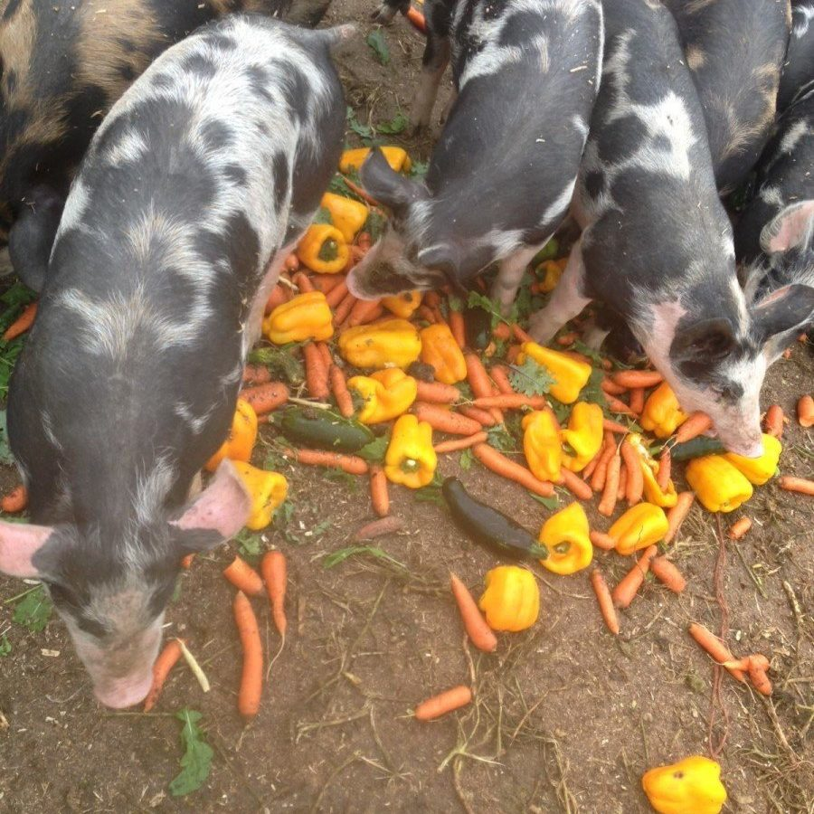 Pigs eating peppers and carrots (large) .JPG